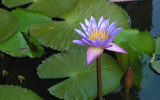 The Lotus in Jyotish grows in mud