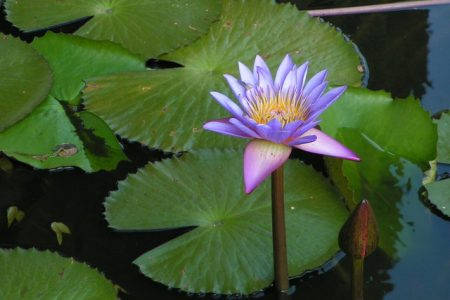 The Lotus in Jyotish grows in mud